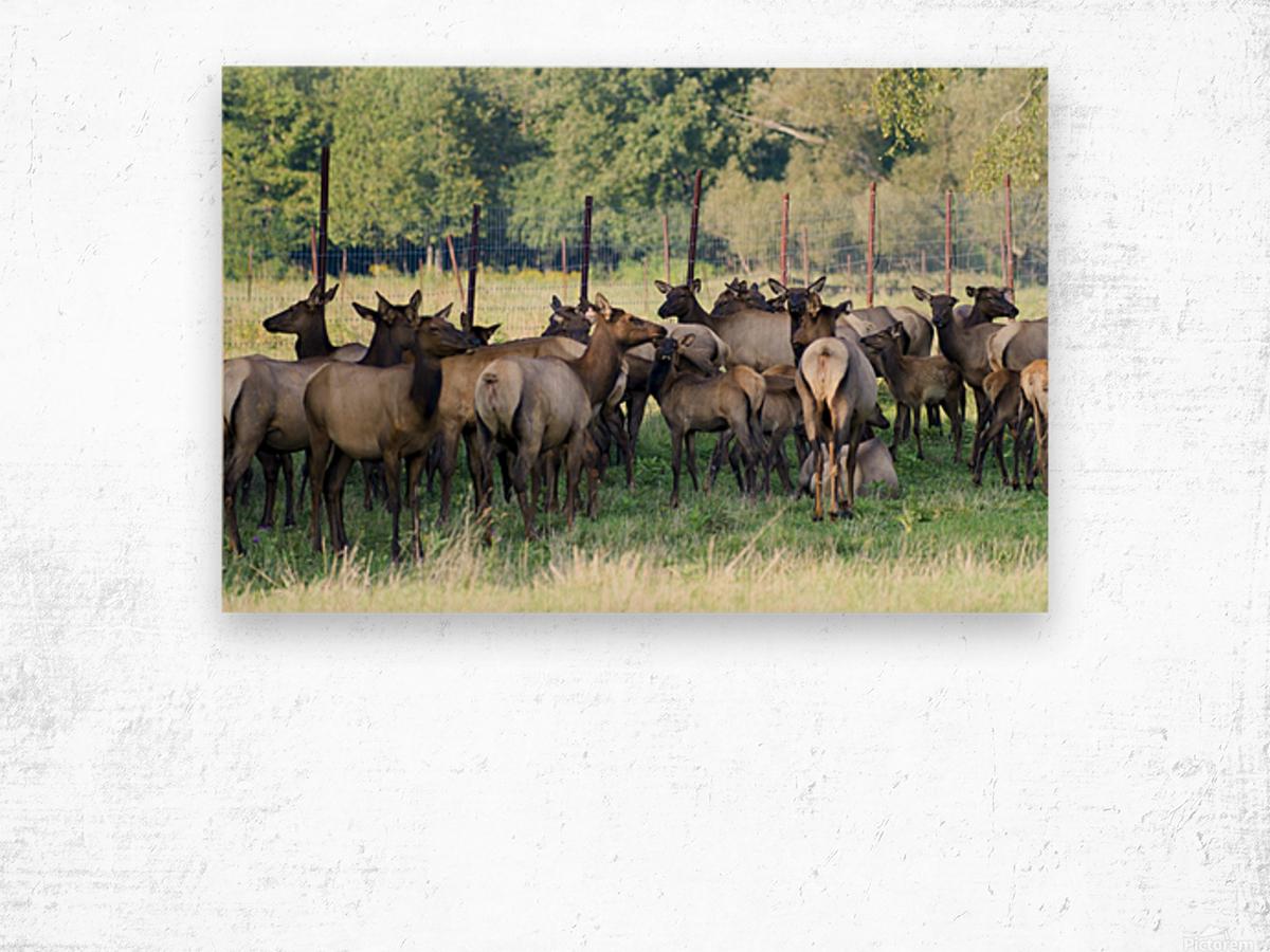 Elk Red Tailed Deer or Wapiti 16 Wood print