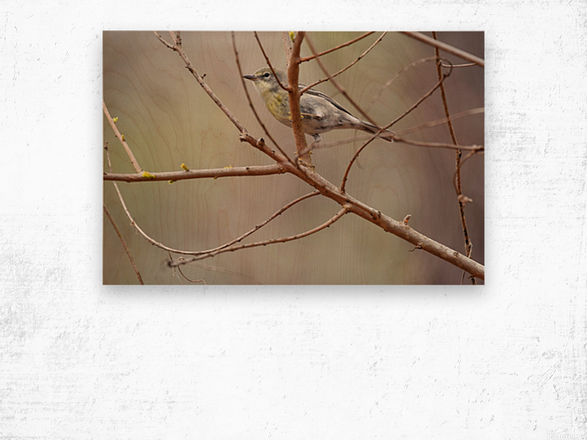 Yellow-rumped Warbler 3 Wood print