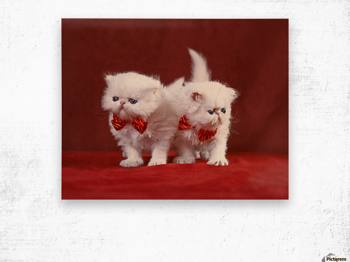 White Persian Kittens with bow ties Wood print