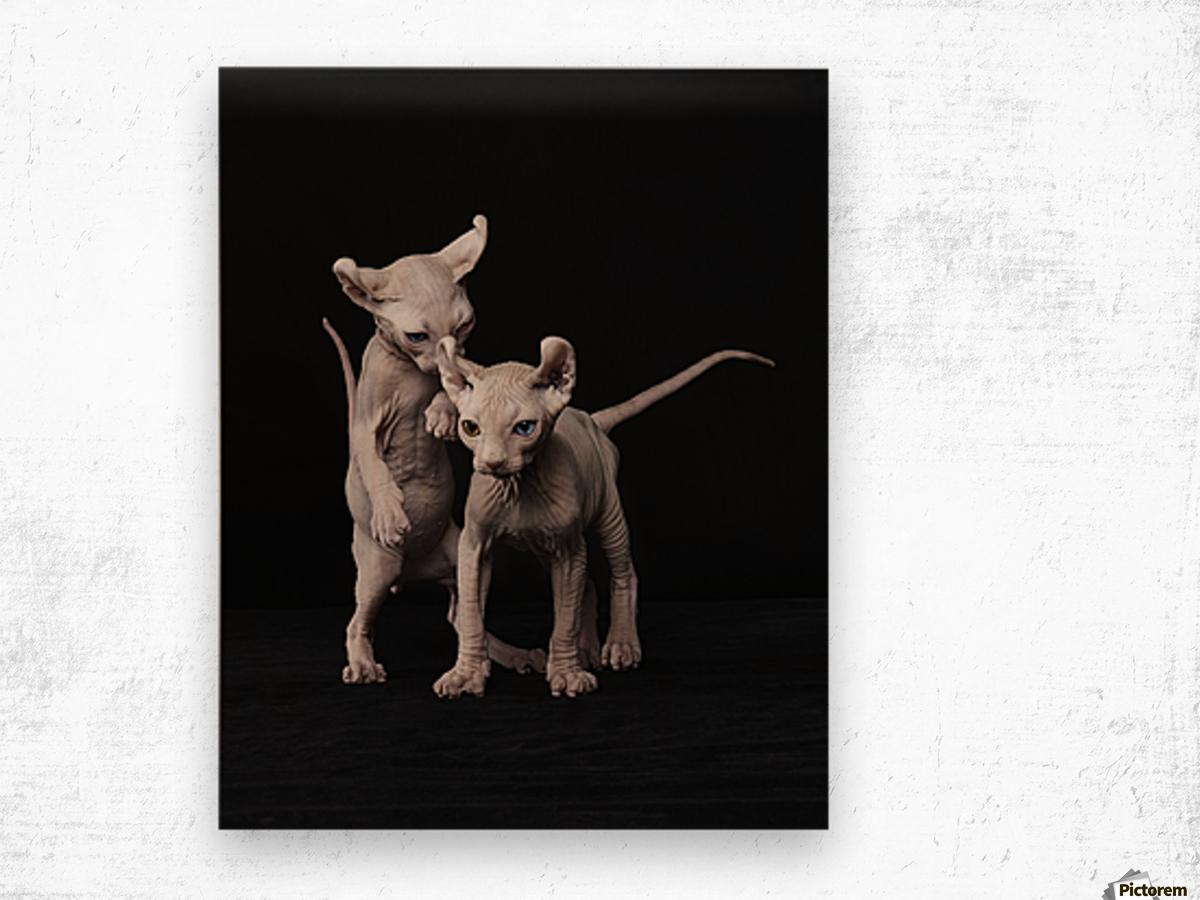 Elf Sphinx kittens Wood print