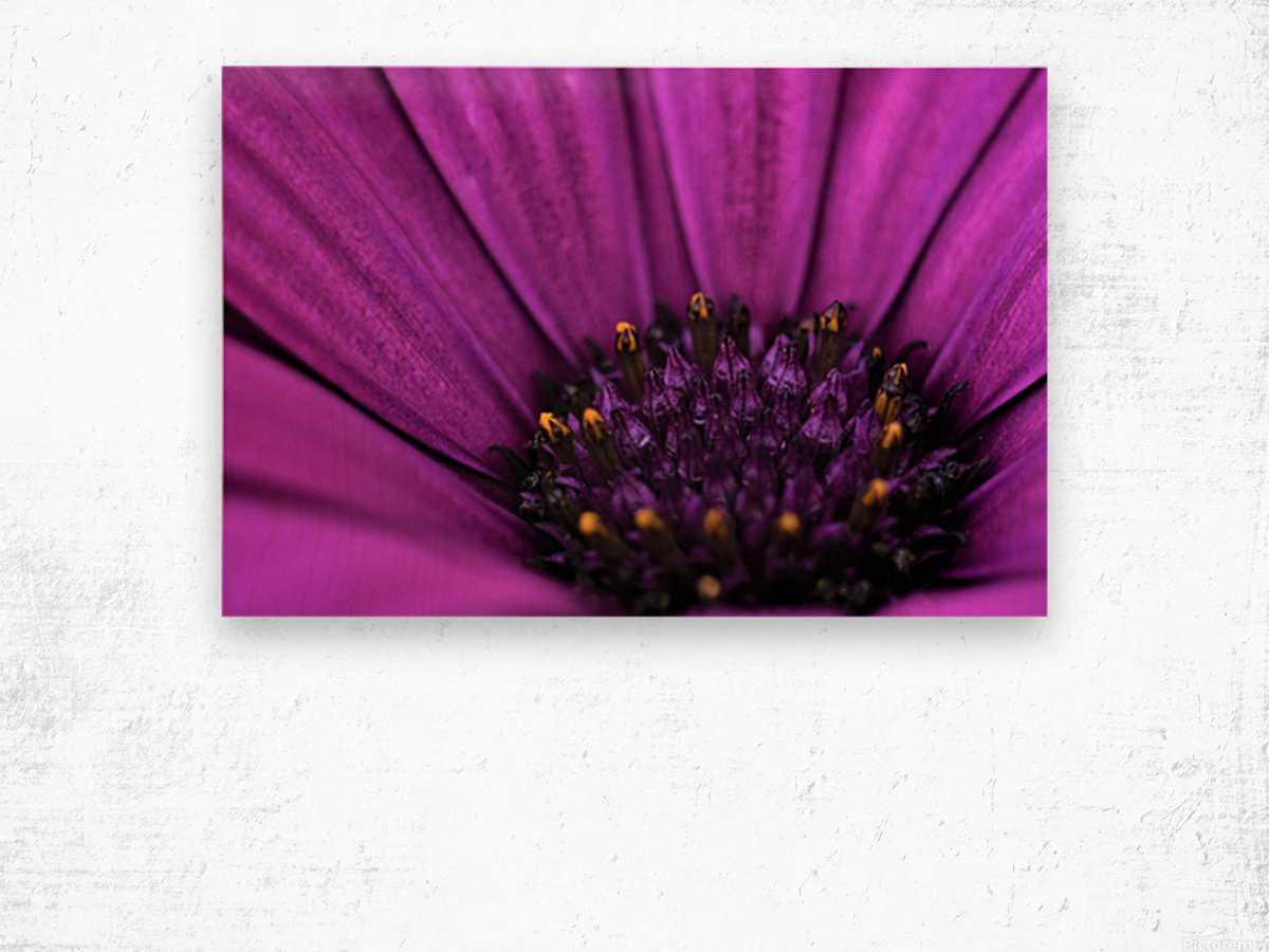 Purple Osteospermum Daisy Photograph Macro Wood print