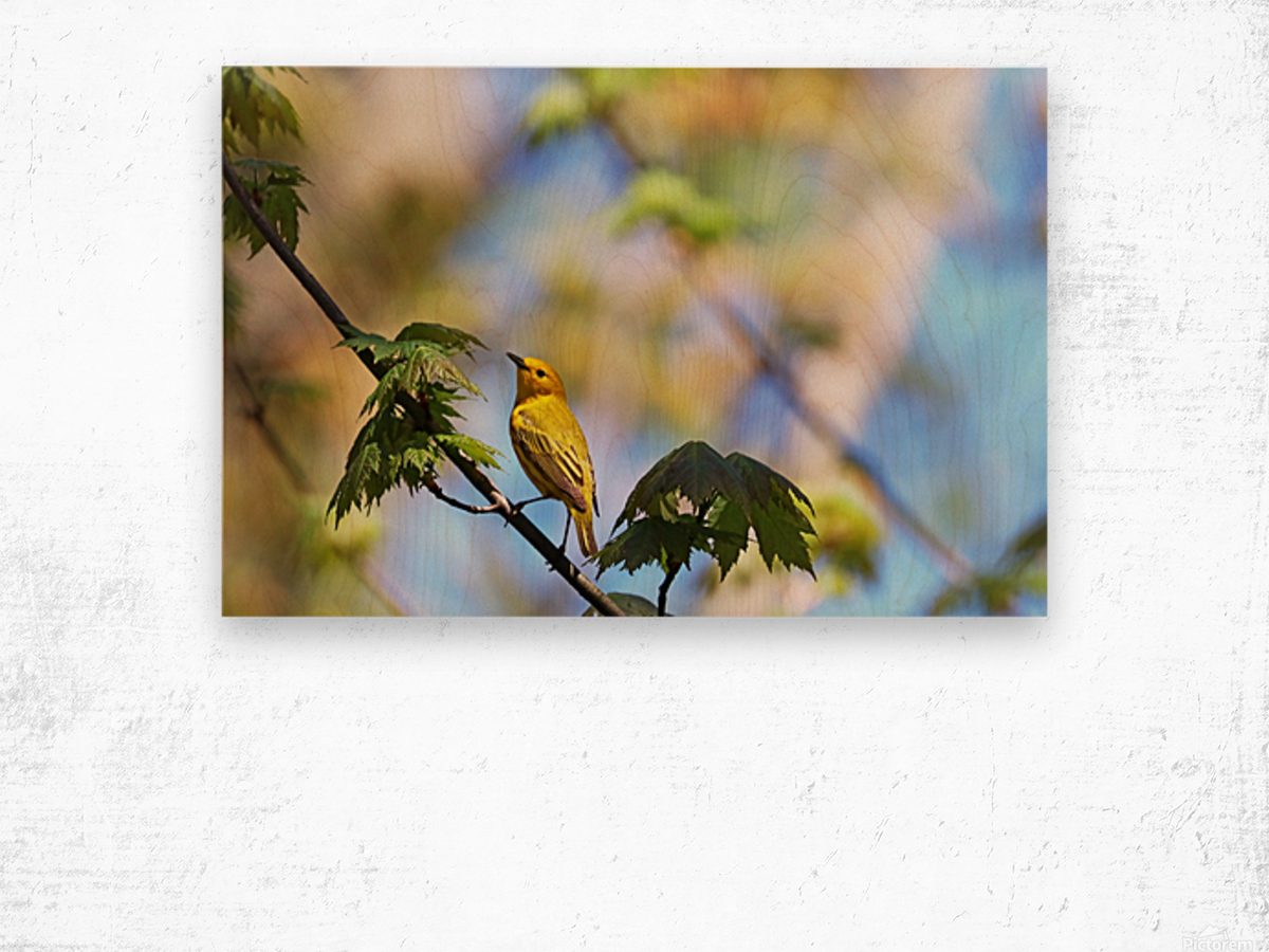 Yellow Warbler In Maple Tree Wood print