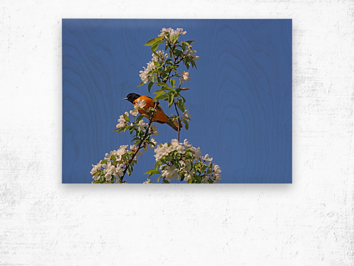Oriole And White Blossoms Impression sur bois
