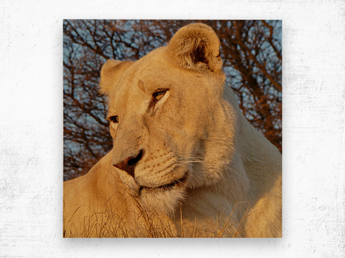 White Lioness Sunset 593 Wood print