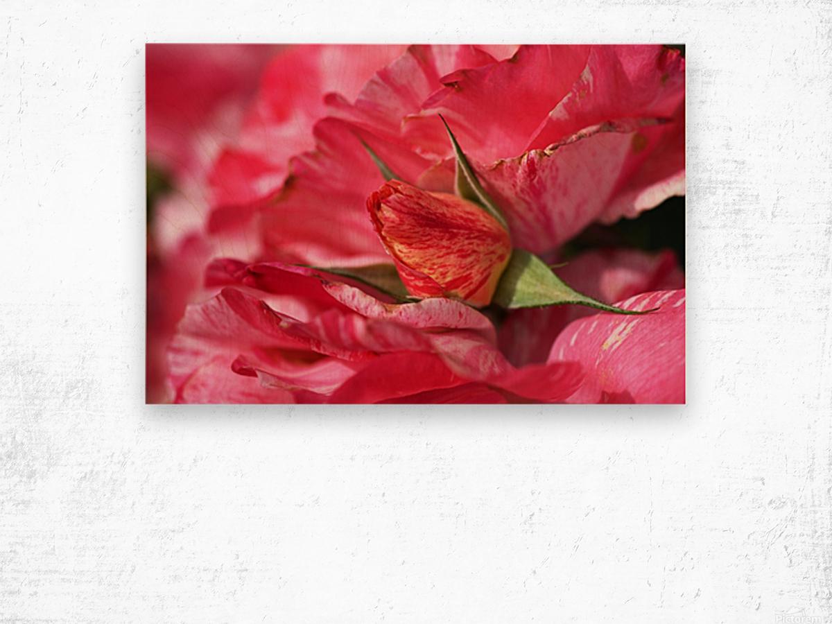 Rose Bud On My Petals Wood print