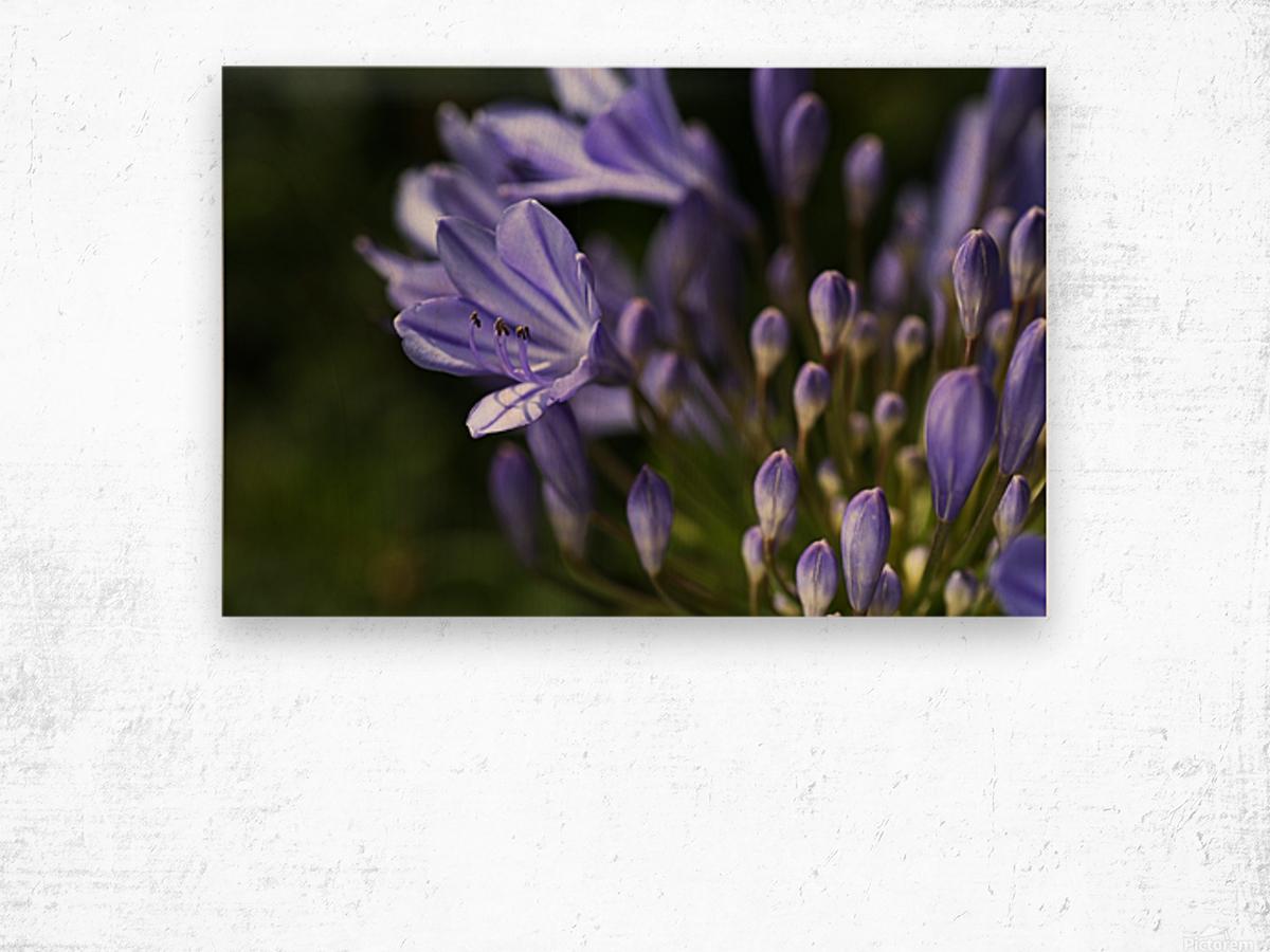 Agapanthus Blue Wood print