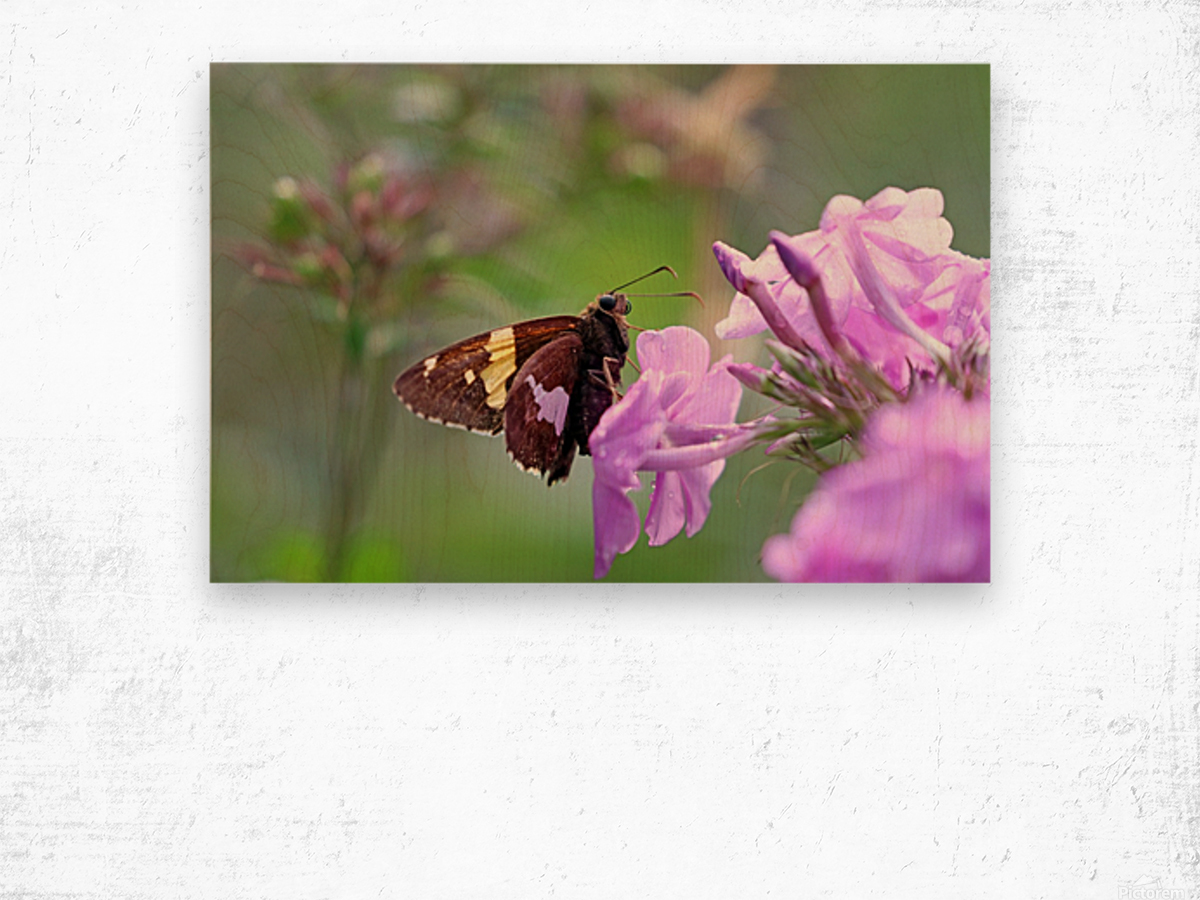 Silver Spotted Skipper Wood print