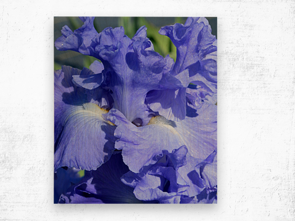 Metoleus Blue Bearded Iris Wood print