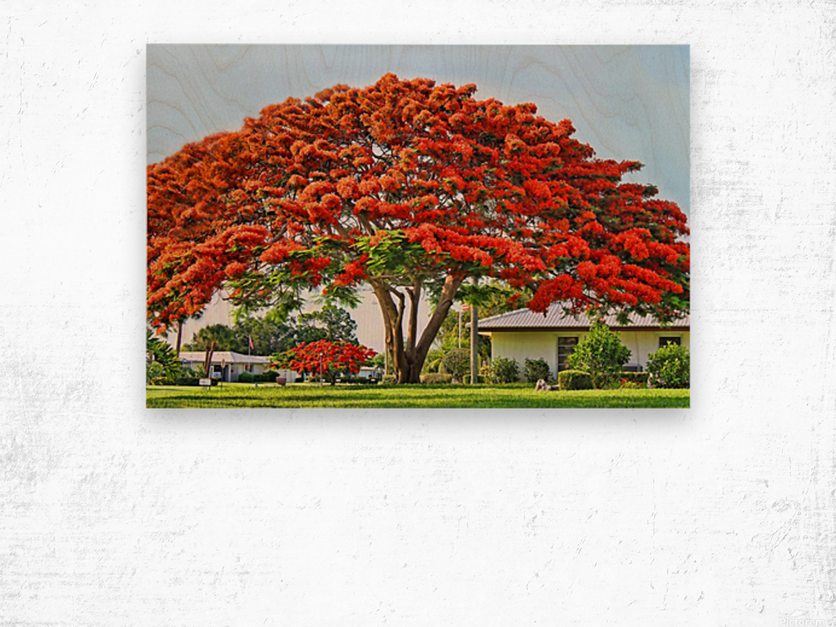Royal Poinciana Tree Wood print