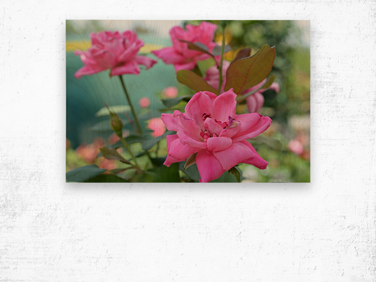 Pink Rose Garden Photograph Wood print