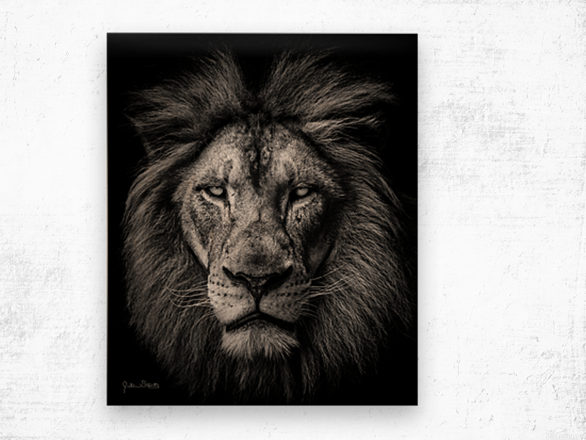 A Lion in Black & White Wood print