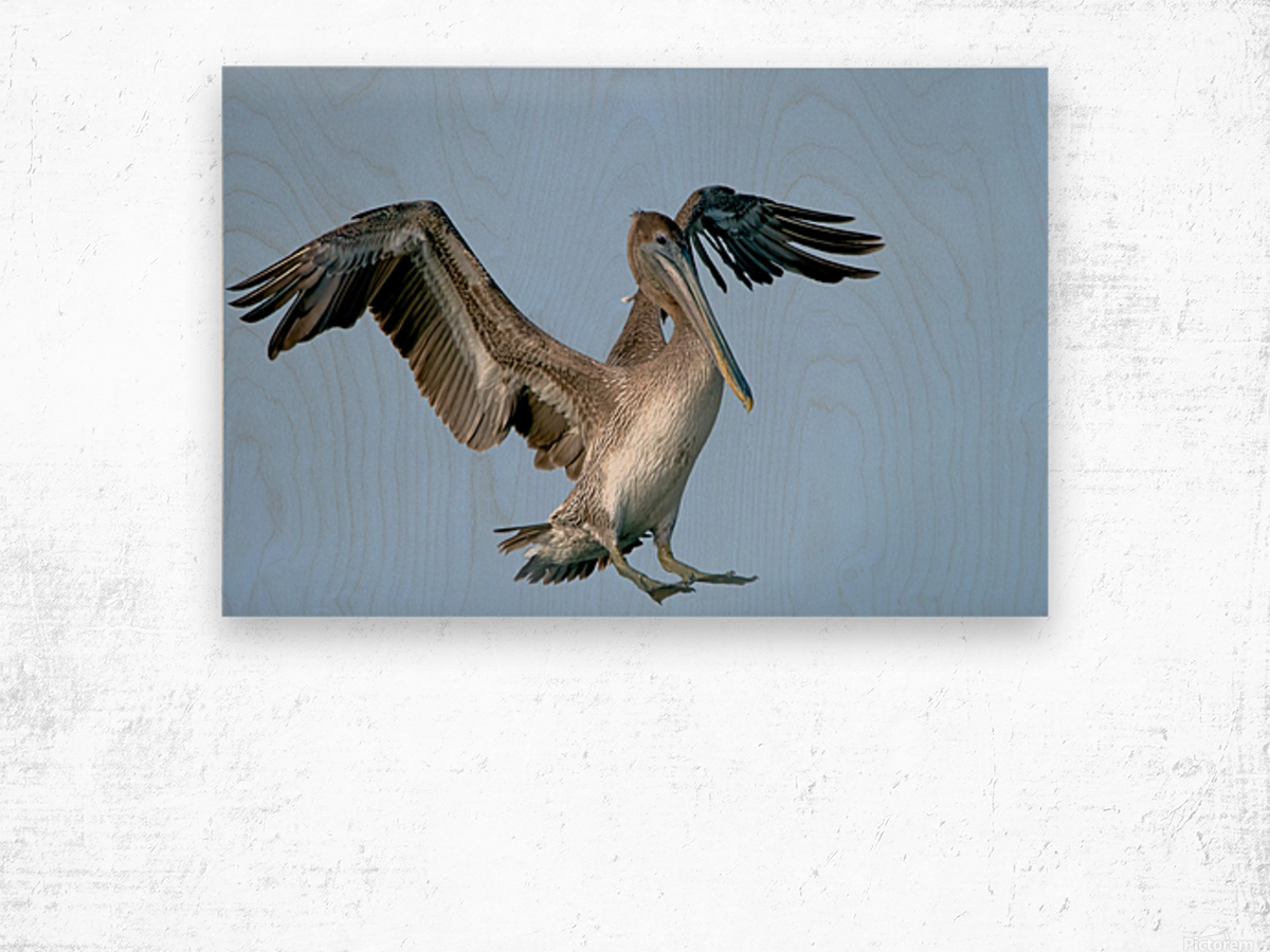 Arriving: Brown Pelican  2509 Wood print