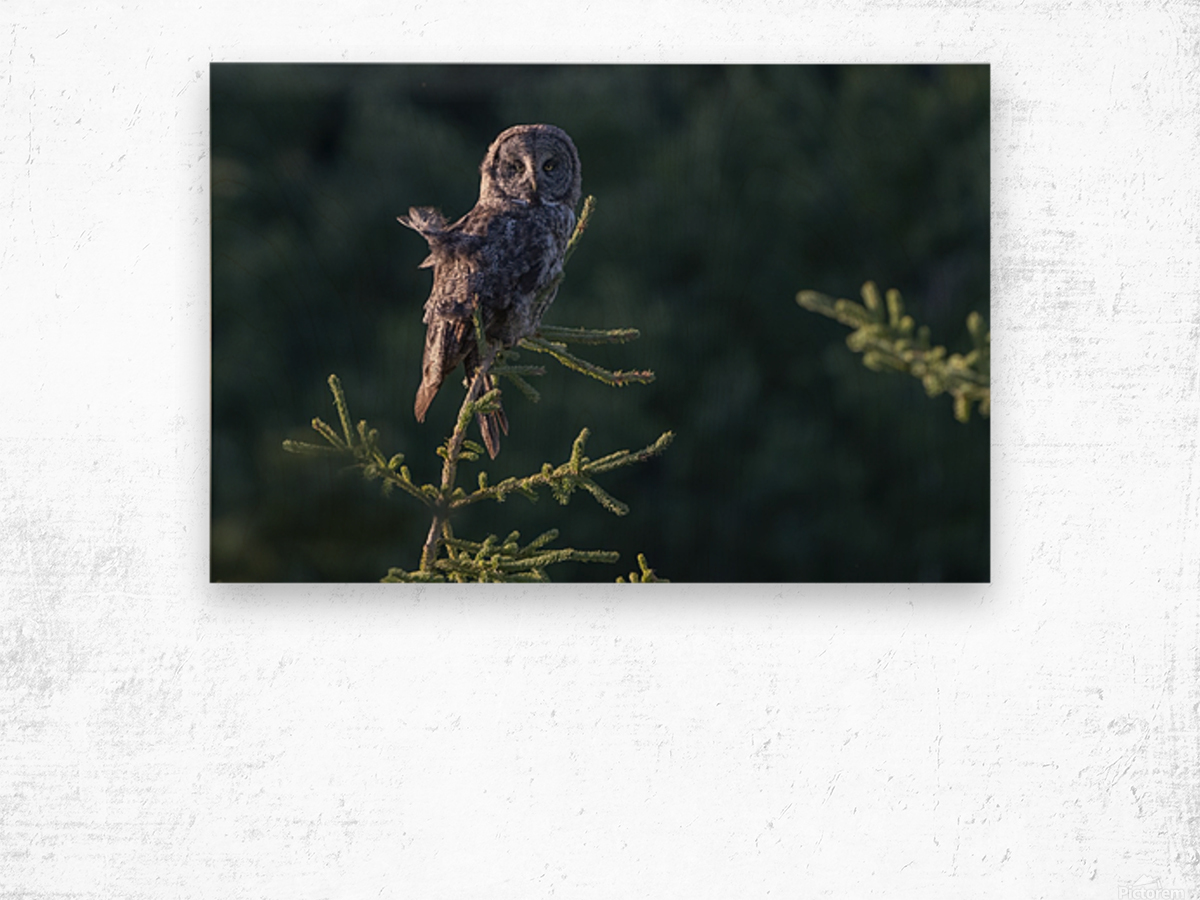 Great Grey Owl - Tree Top Hunting Wood print