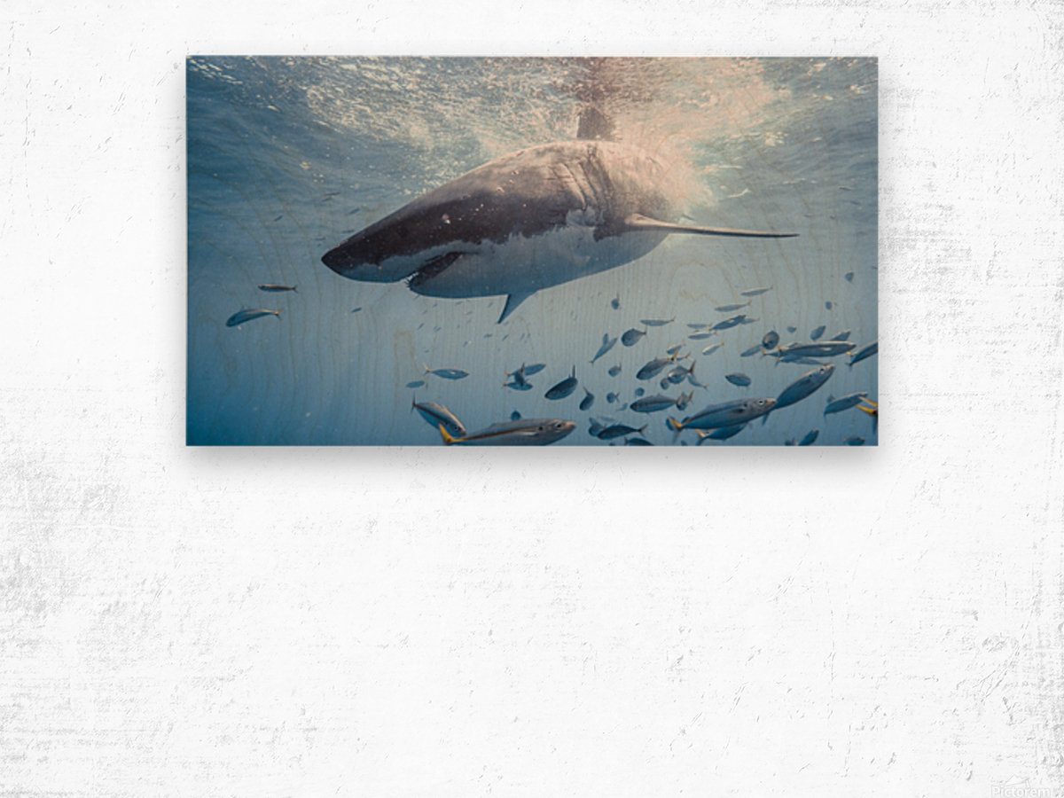 Great White Dive Wood print