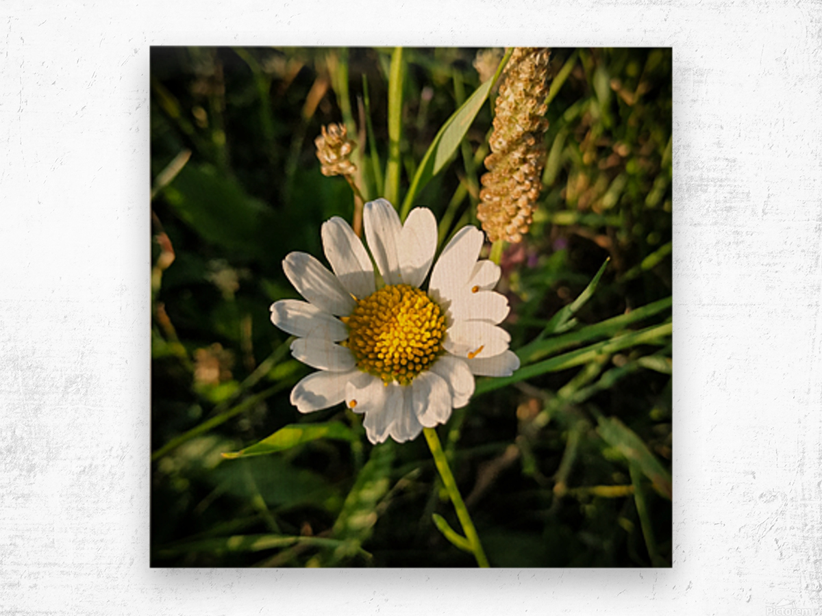 Little daisy in grass Wood print