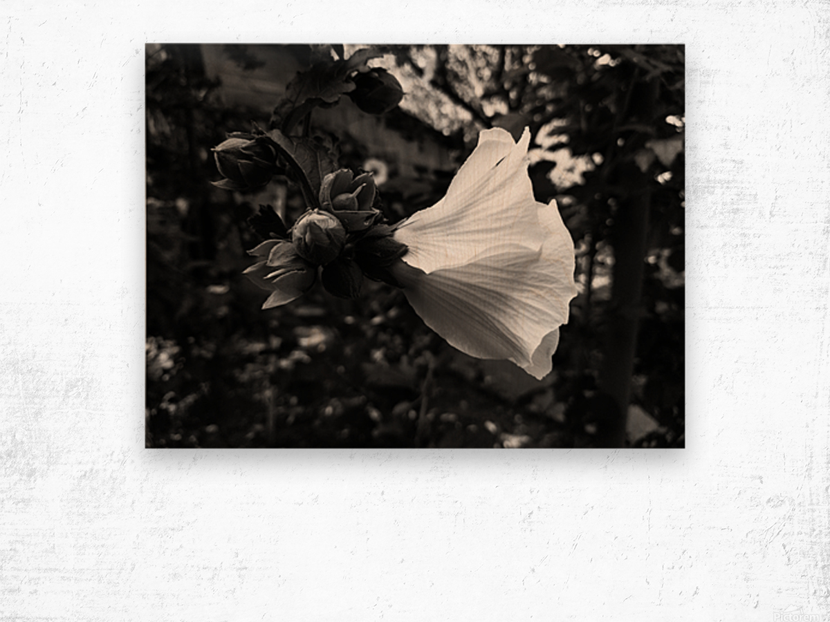 Blooming flower in black and white Wood print