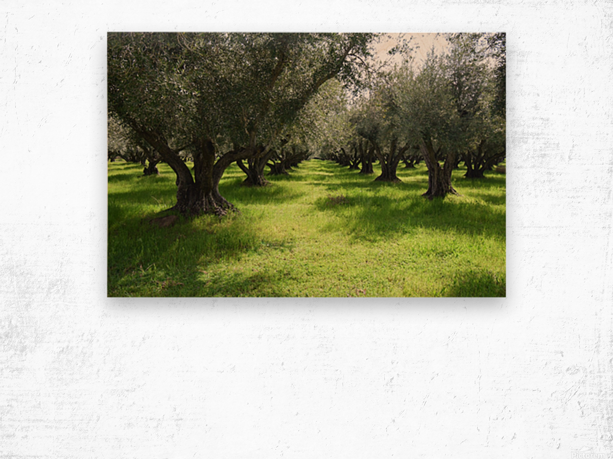 Olive Orchard In Spring Wood print