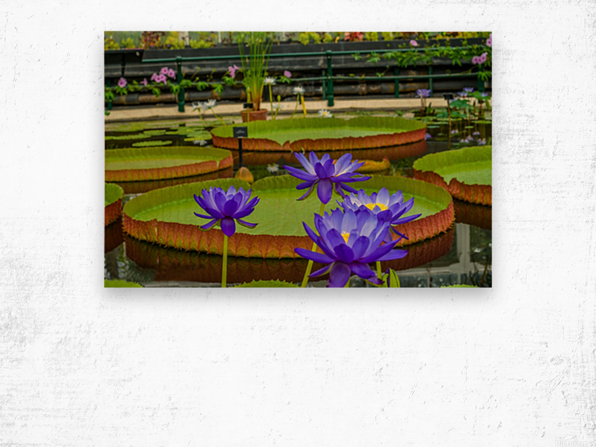 Purple water lily in a pond Wood print