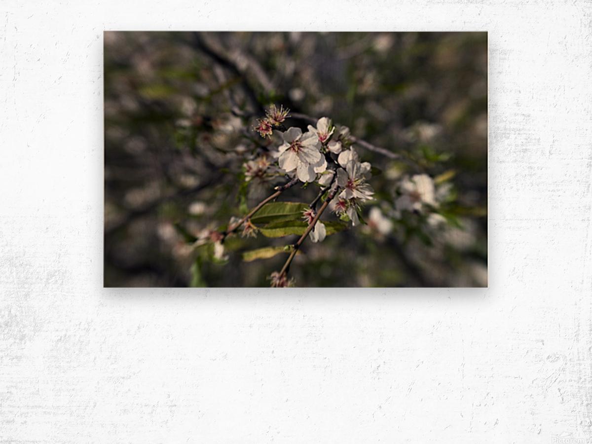 Flowering almonds 2 Wood print