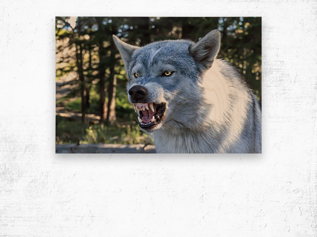 Wolf Dog Snarling Wood print