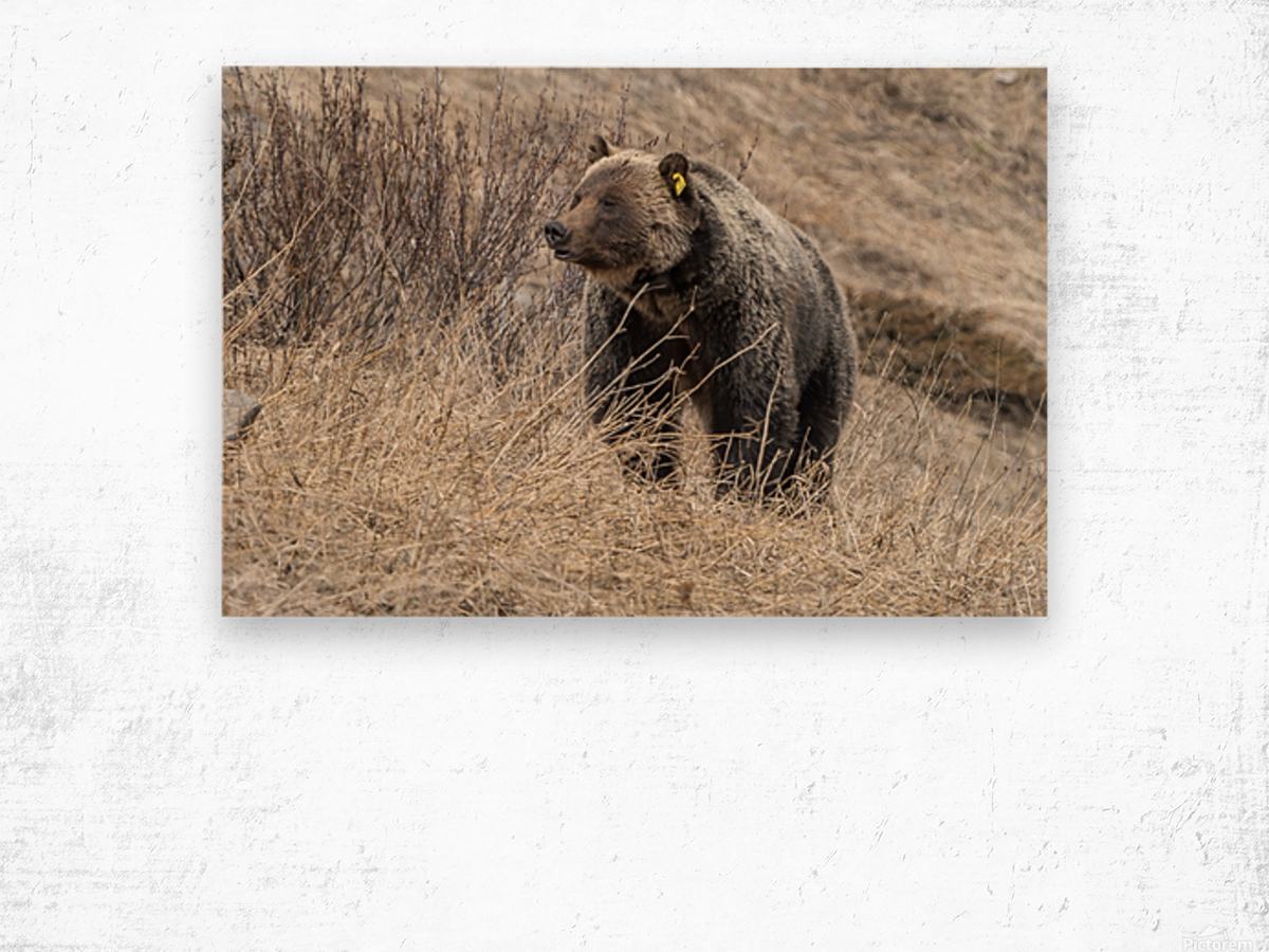 6897 - Grizzly Bear 2160 Wood print