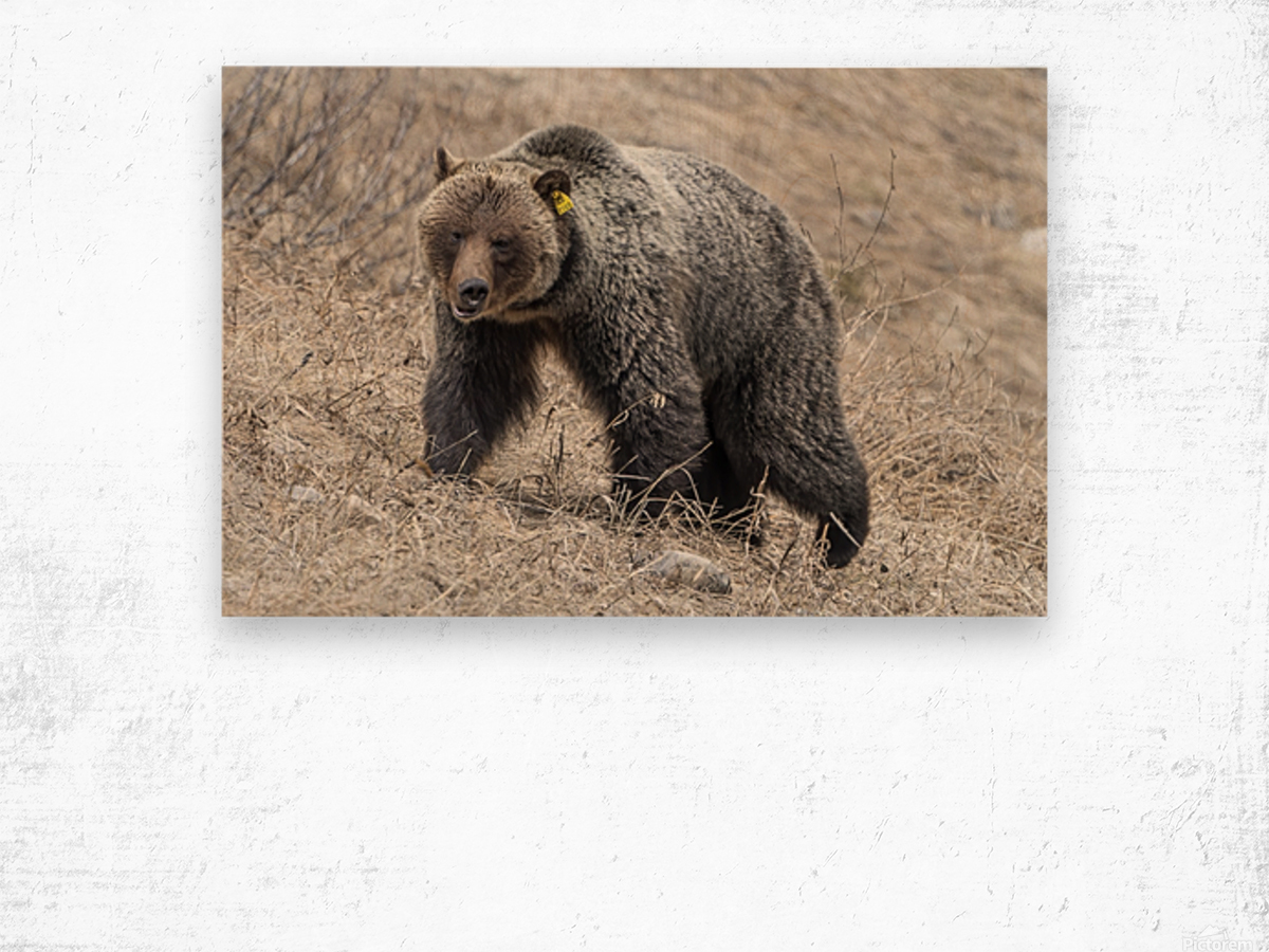 6970 - Grizzly Bear 2160 Wood print