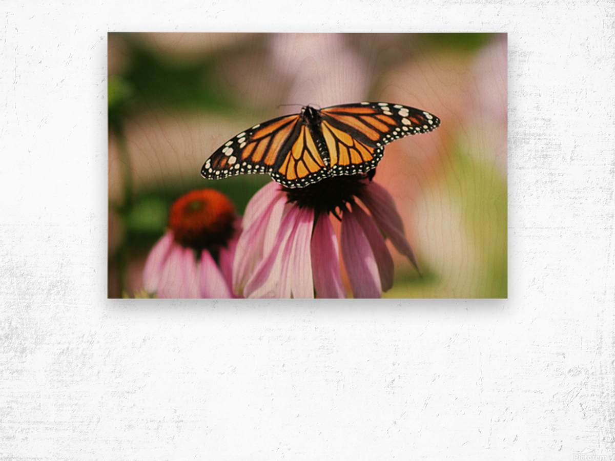Closeup Butterfly on Cone Flower Wood print