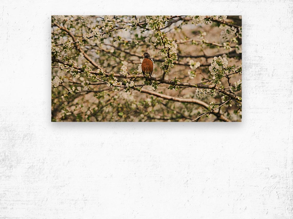 Robin Sitting on Branch Wood print