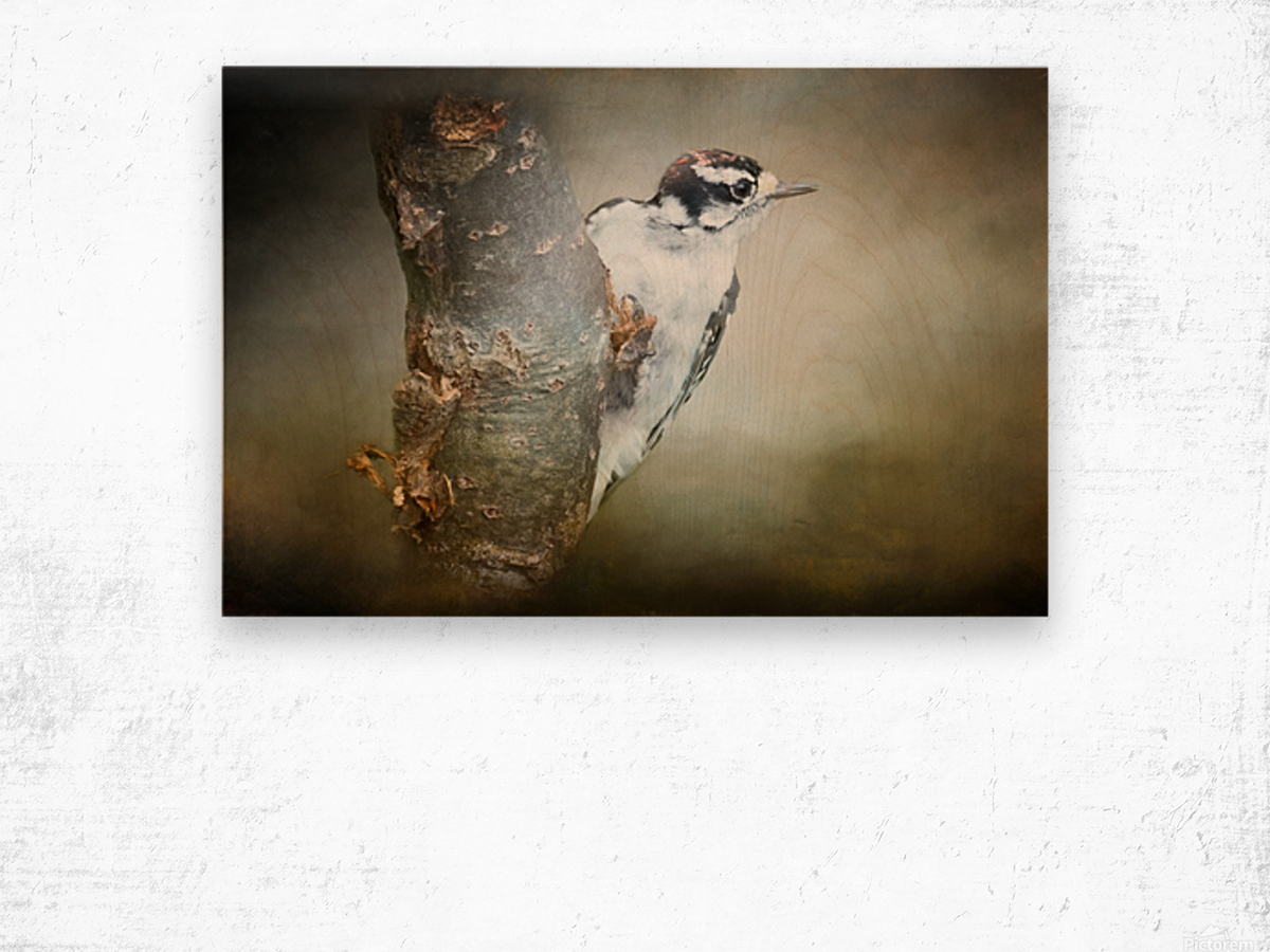 Juvenile male Downy Woodpecker Wood print