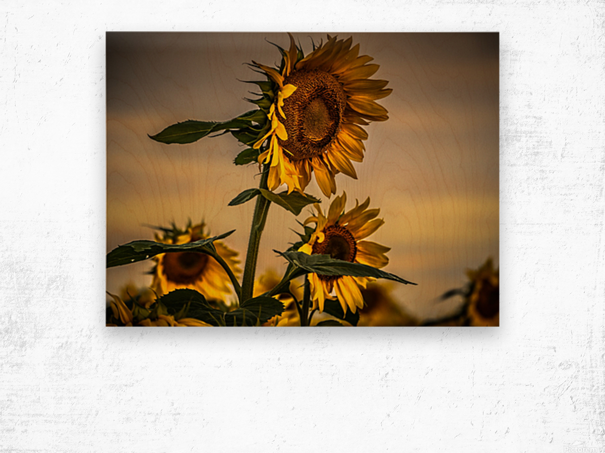 Gone with the Sunflowers Wood print