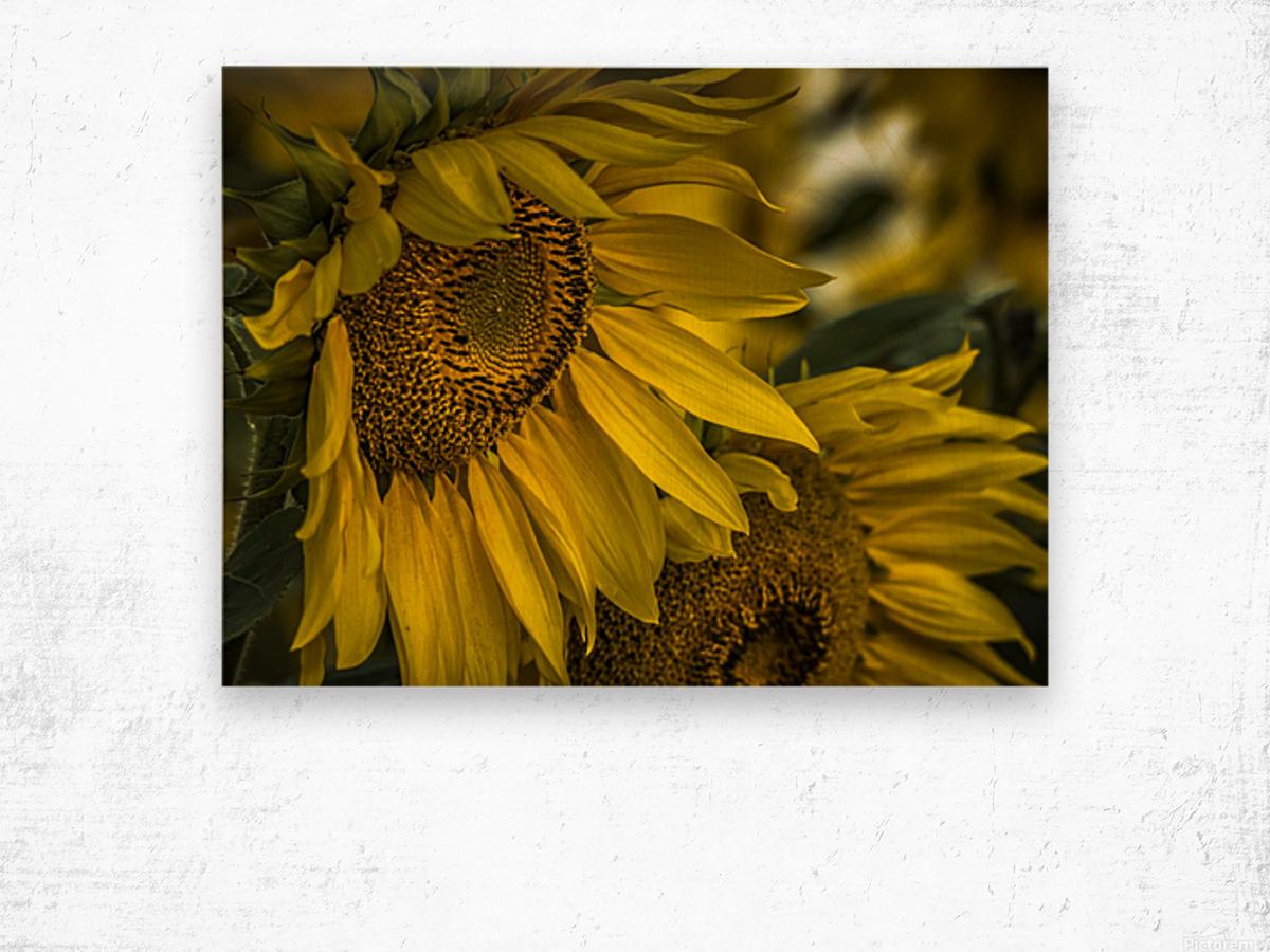 Sunflower Dawn  Wood print