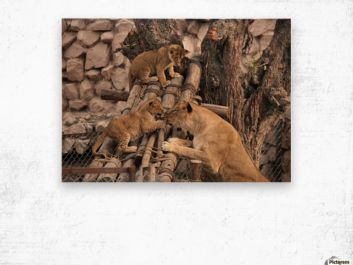 Lioness baby in Lucknow Zoo (1) Wood print