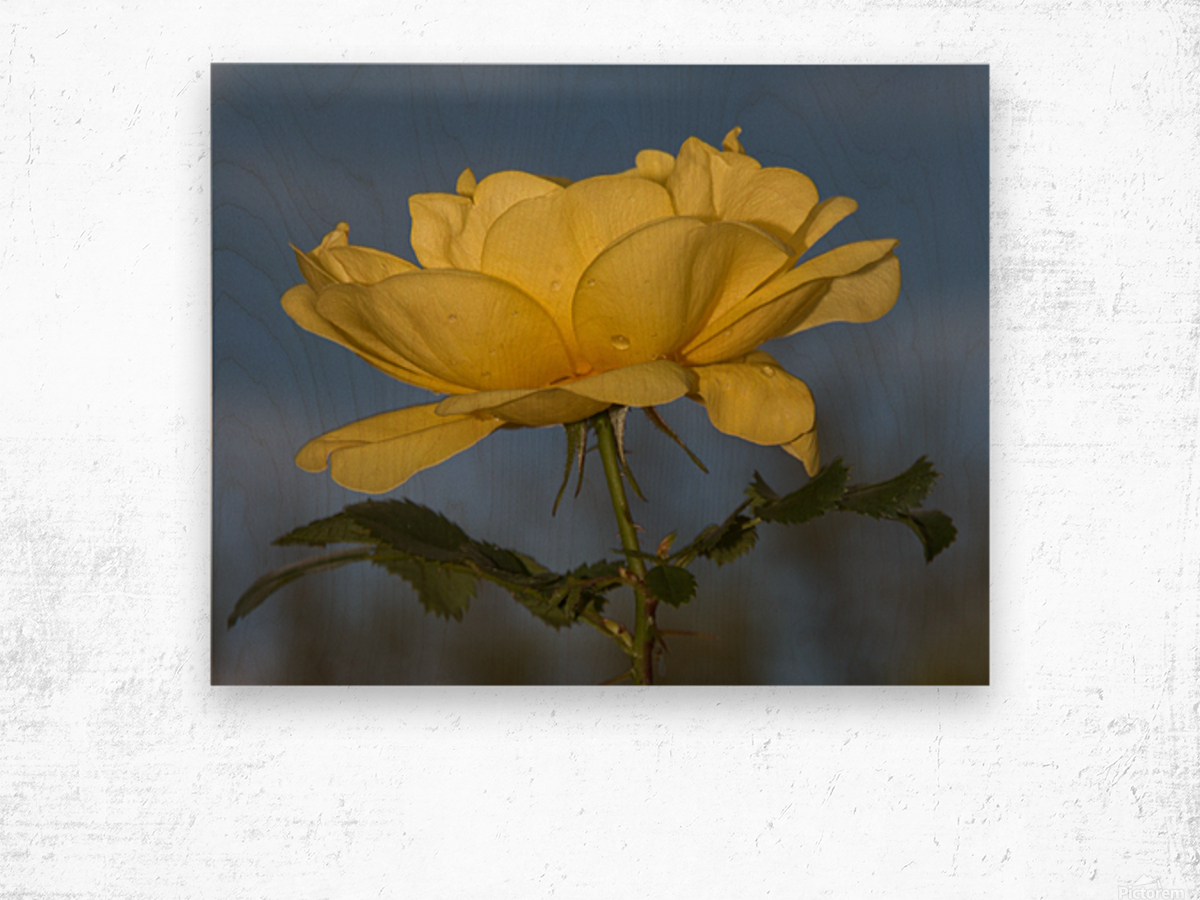 Yellow Rose Landscape Wood print