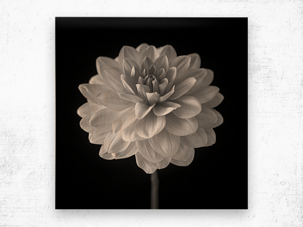 Dahlia flower on black background Wood print