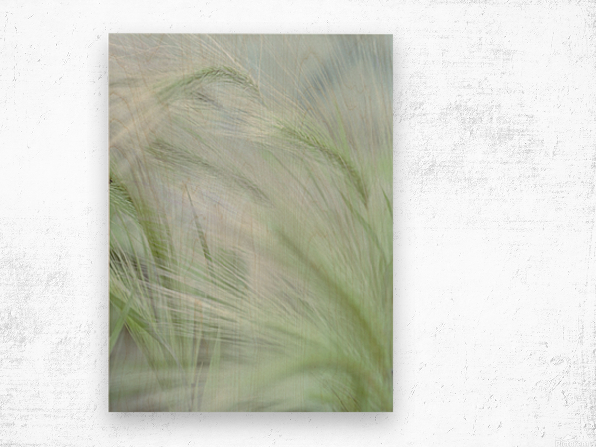 Wild grass Foxtail Barley Wood print