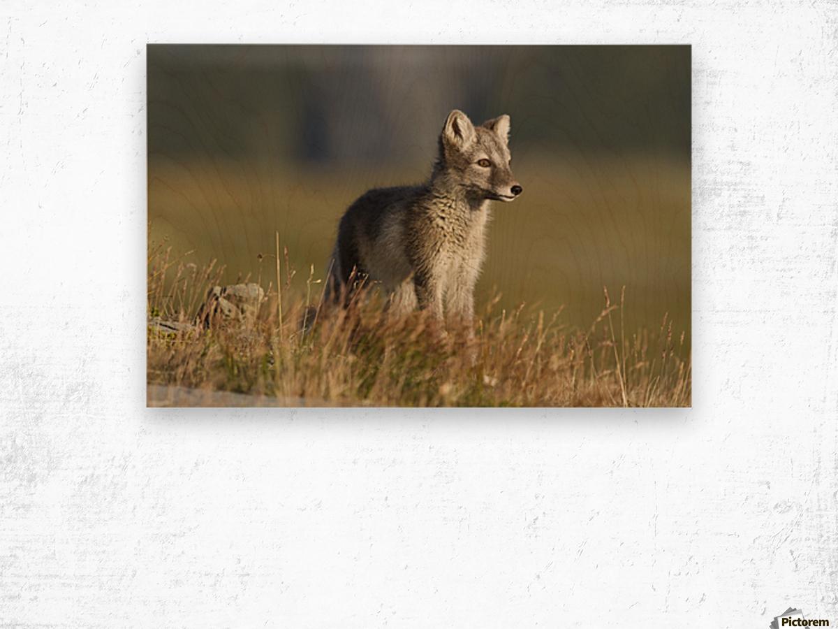 Arctic Fox Puppie by Karen Kolbeck  Wood print