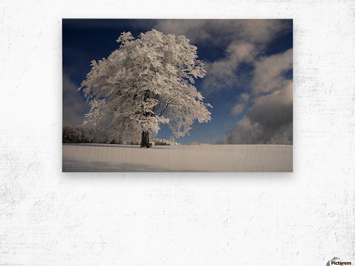 White Windbuche in Black Forest Wood print