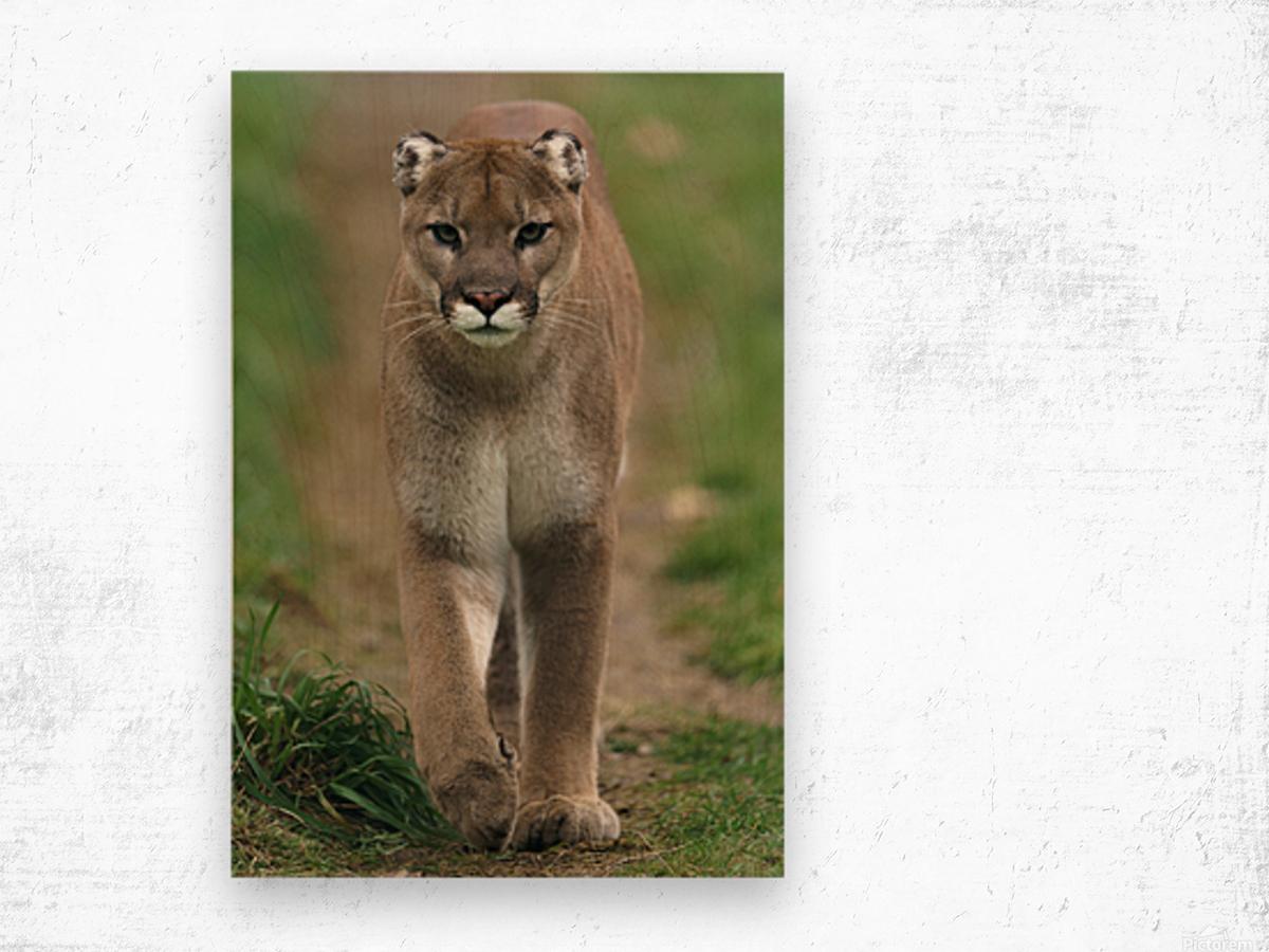 North American Cougar Wood print