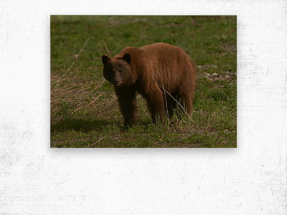 Cinnamon Black Bear Wood print
