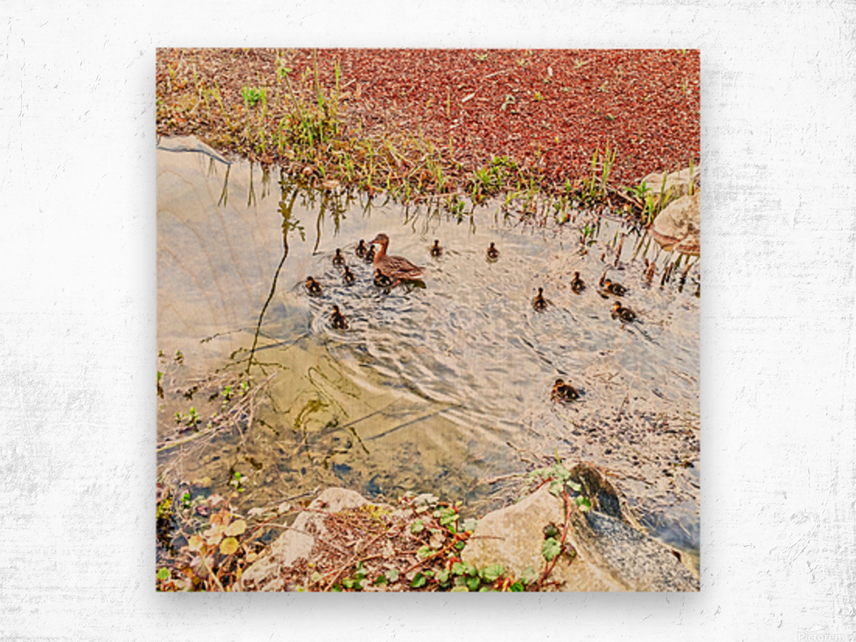 Spring Ducklings Wood print
