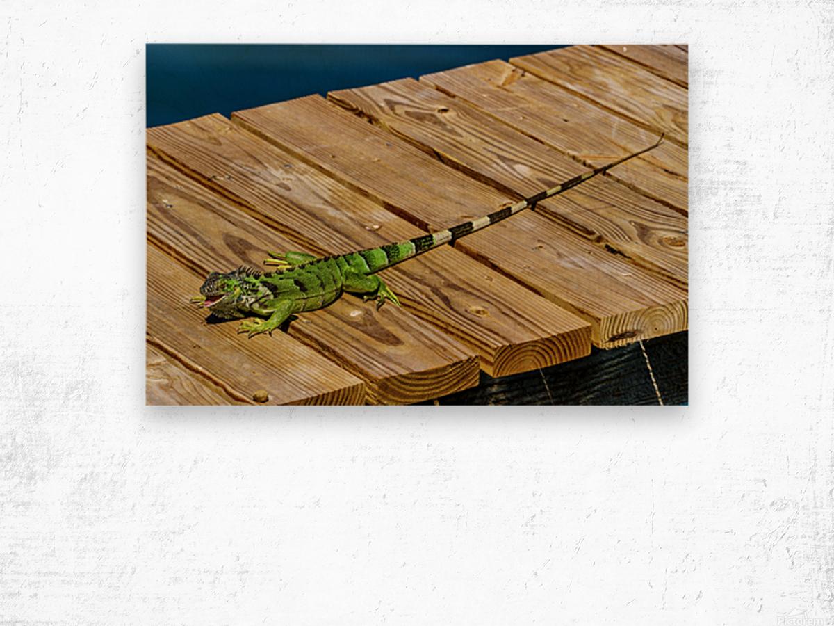 Cayman Green Iguana Eating Wood print