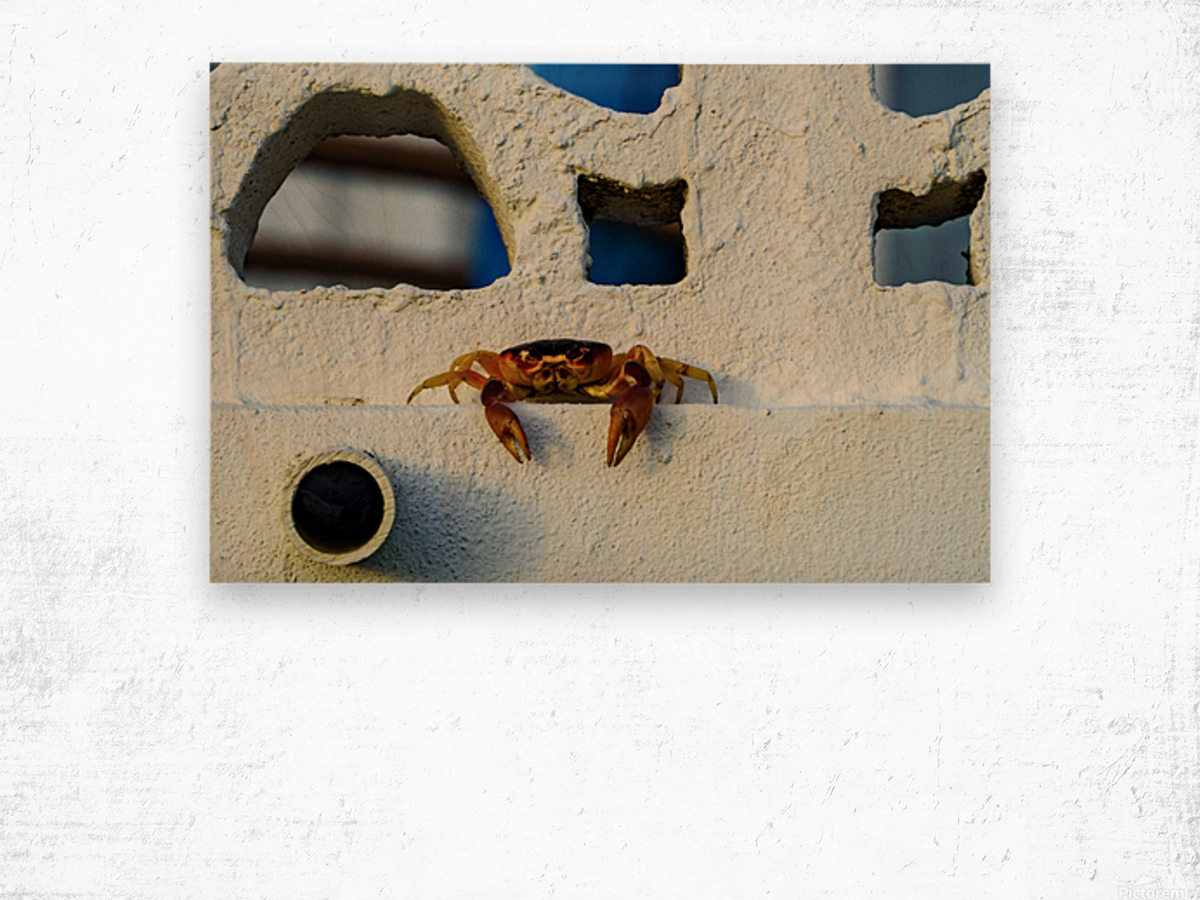 Cayman Crab Hanging Out Wood print