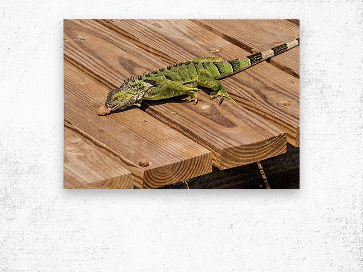 Cayman Green Iguana Snacking Wood print