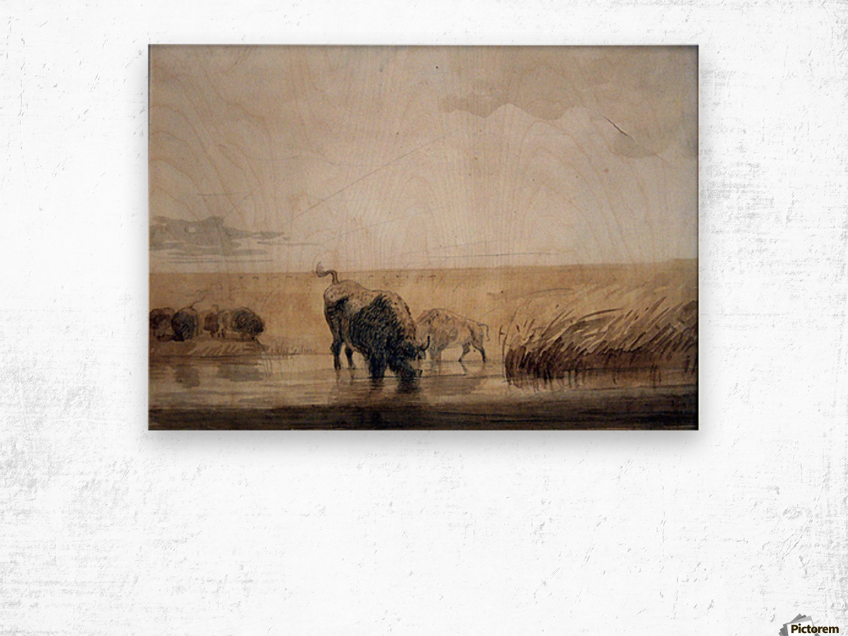Buffalo watering Wood print