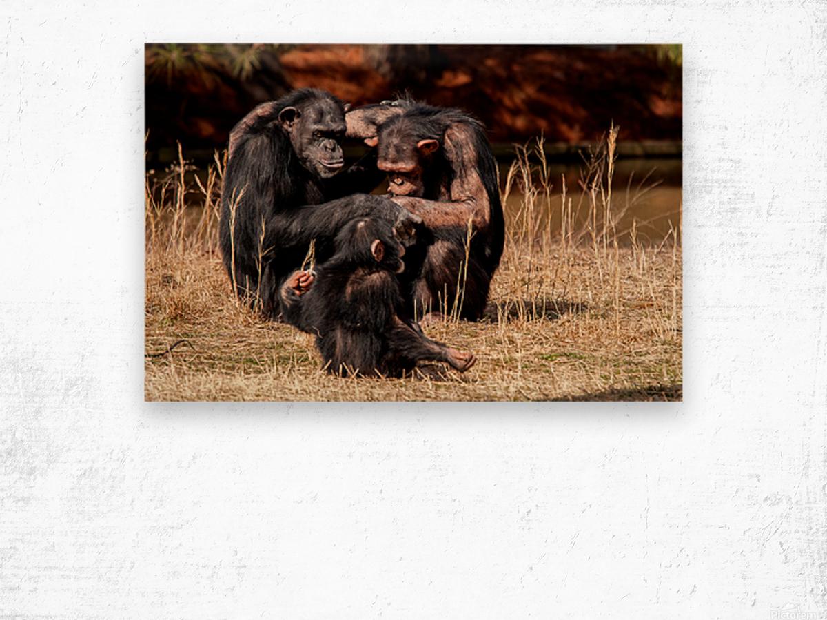Chimpanzee Family Wood print