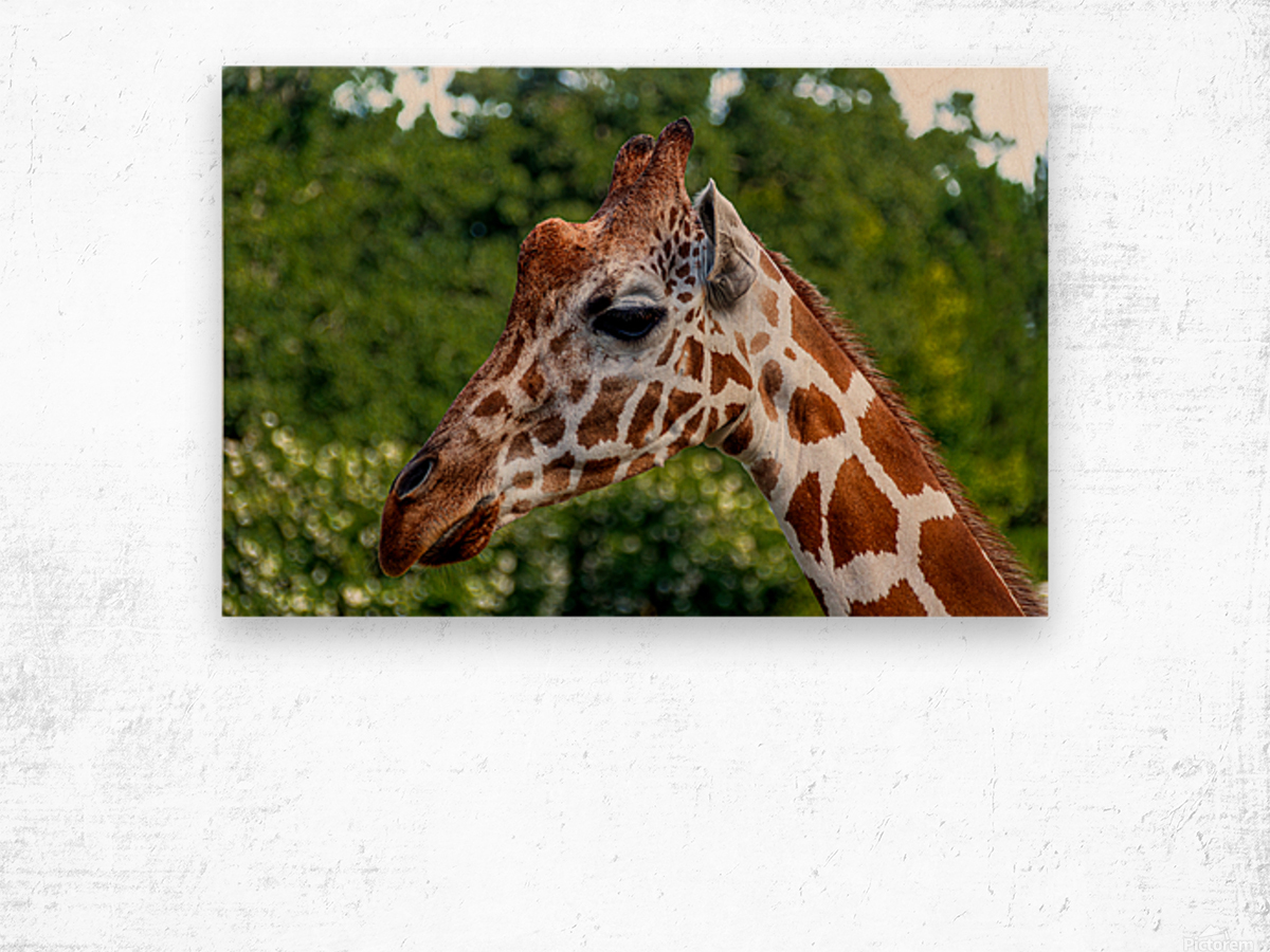 Reticulated Giraffe 1 Wood print