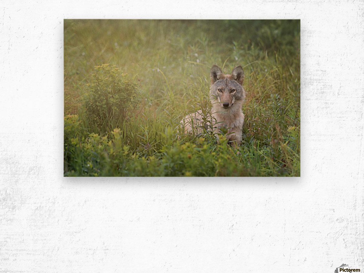 Eastern Coyote Wood print