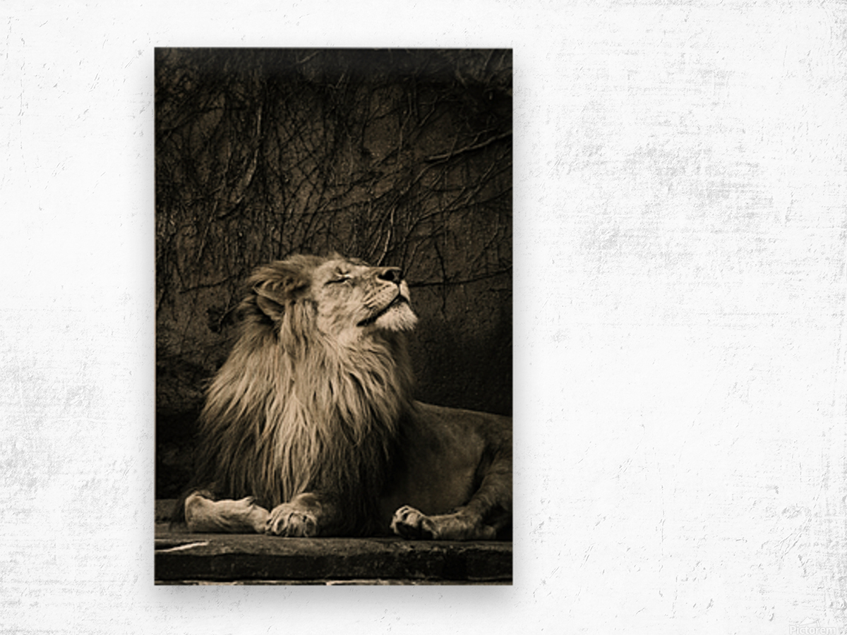 Chill of the Day  Lion  Wood print