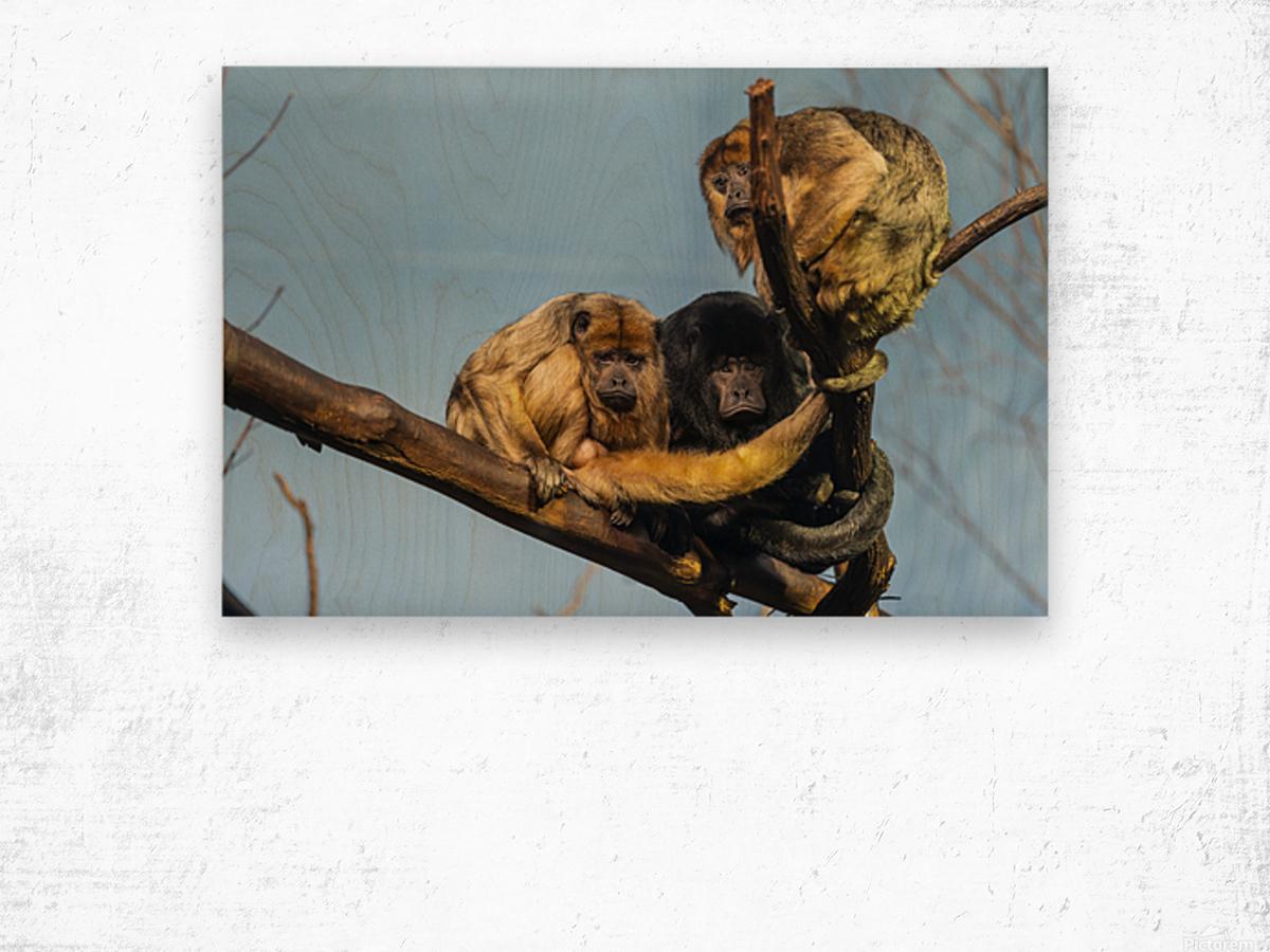 Eyes in the Trees  Howler Monkey  Wood print