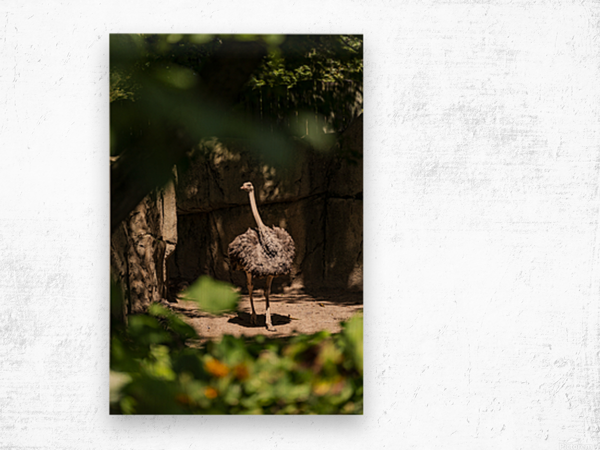 Feathers Fluffed  Ostrich  Wood print
